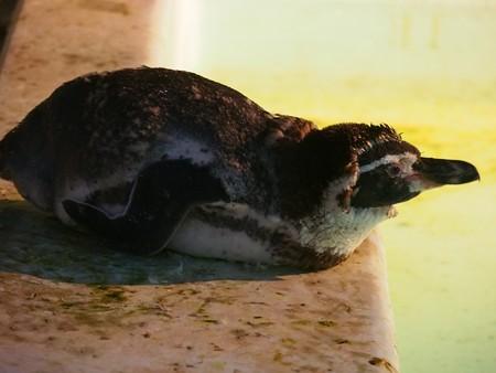 20140823 野毛山 夜のペンギンプール08