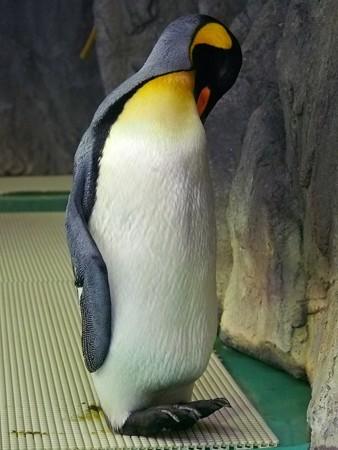 20140906 王子 キングペンギン04