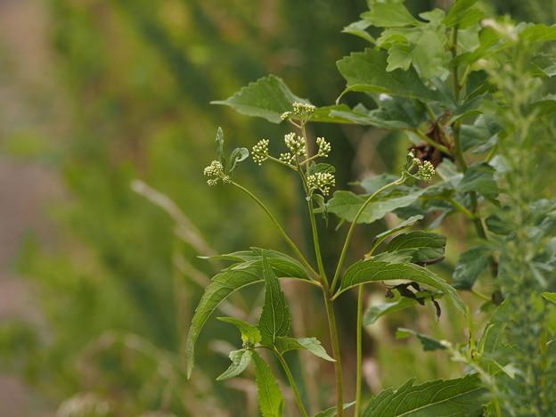 フジバカマ Eupatorium japonicum