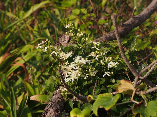 センニンソウ Clematis tenuiflora