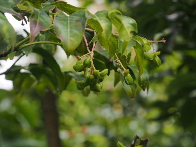 ゴンズイEuscaphis japonica