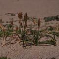 Photos: コウボウムギ Carex kobomugi