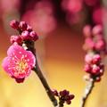 新春の紅梅
