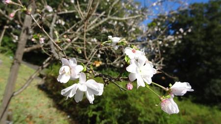 国営武蔵丘陵森林公園 十月桜
