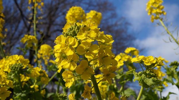 写真: 菜の花とともに