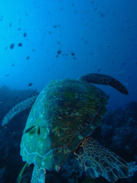 アオウミガメ 4