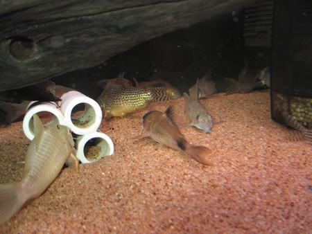 20140709 60cmコリドラス水槽のコリドラス達