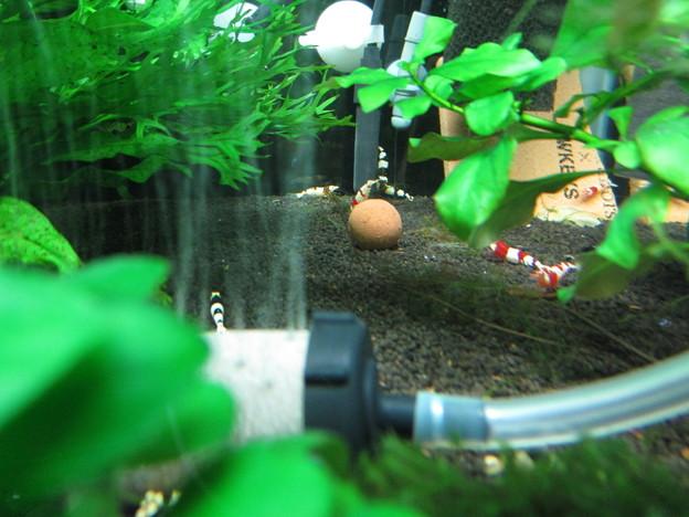 20140903 60cmエビ水槽のADA BACTER BALL