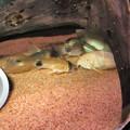 Photos: 20140904 60cmコリドラス水槽のコリドラス達