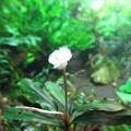 20140930 60cmエビ水槽のブセファランドラの花