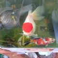 20170303 60cmベランダ水槽の金魚