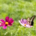 写真: 揚羽蝶