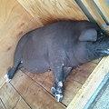 写真: 豚さんも猛暑でバテバテの模様。総社ラーメン鬼の城より