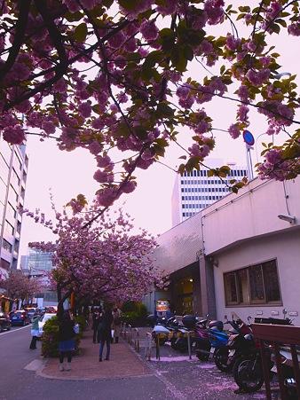 銀座桜通りでまだまだ桜を撮影する2人