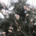 シナミザクラ(Prunus pseudo-cerasus Lindl.)