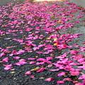 写真: ヒヨチャンと風に散らされた花びら