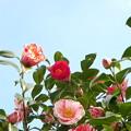 咲き分けの椿(自宅の花)