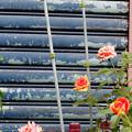シャッター前の花