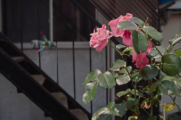 薔薇と階段