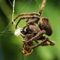蜘蛛・蜜蜂を捕食 1 09:20