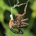 蜘蛛・蜜蜂を捕食 2 09:20