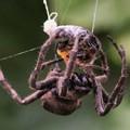 蜘蛛・蜜蜂を捕食 3 09:20
