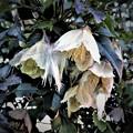 真冬に咲く花は・・クレマチス キロサ・バレアリカ