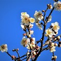 白梅が盛りに・・・  H29:01:28