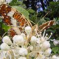 写真: サカハチチョウ