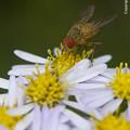 Photos: ハエの一種