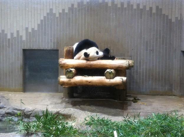 眠るパンダ・シンシン(メス)