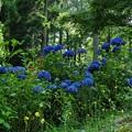 紺色の紫陽花