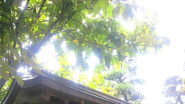 ぶどうの木*