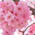 春のぼんぼり