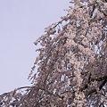 Photos: 京都御苑、春の訪れ14