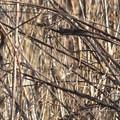 藪の中で餌を食べるベニマシコさん~