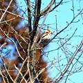 桜の新芽を食べる小鳥さん