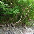 雨畑川の岩石から生える樹木