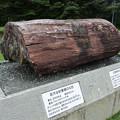 Photos: 巨大な針葉樹の化石