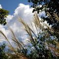 空に映えるススキ