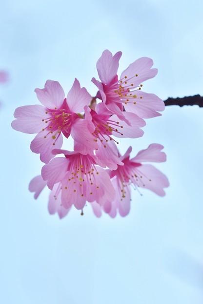 写真: おかめ桜