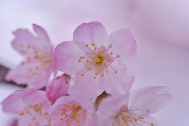 写真: 春めき桜
