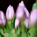 写真: 冬咲きチューリップ