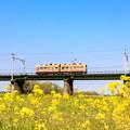 遠賀川河川敷 菜の花