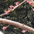 1343 龍泉寺の桜