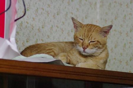2009年8月20日の茶トラのボクチン(5歳)