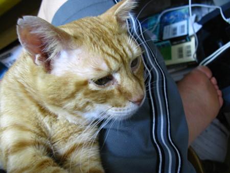 2010年9月1日の茶トラのボクチン(6歳)