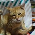 写真: 2010年9月5日の茶トラのボクチン(6歳)