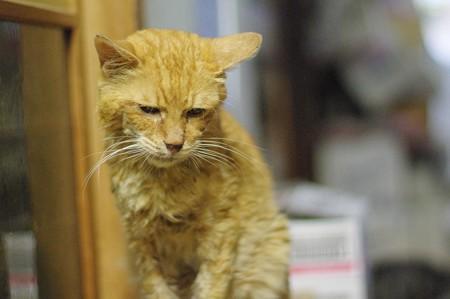 2012年9月7日の体調を壊して3ケ月になる茶トラのボクチン(8歳)
