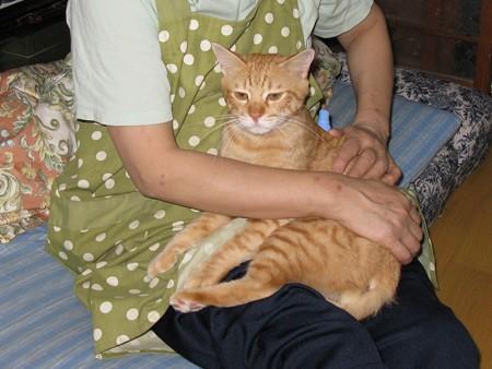2008年9月21日の茶トラのボクチン(4歳)